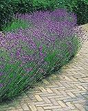 Willemse France 014877 Lot de 3 Plantes Lavandes Multicolore 19 x 19 x 24 cm