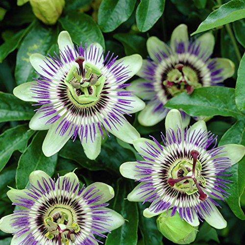 3 passiflora | acquista 3 / paga 2 - fiore della passione (pianta sempreverde) - 3 vasi da 1,5 litri (pianta rampicante - pianta adulta) - pergola, balconi e terrazze | clematisonline