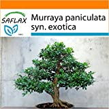 SAFLAX - Garden in the Bag - Naranjo jazmín - 12 semillas - Murraya paniculata syn. exotica