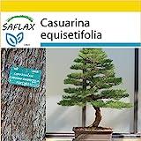 SAFLAX - Anzucht Set - Bonsai - Australische Strandkiefer - 200 Samen - Casuarina equisetifolia