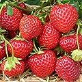 Erdbeere Sorte Mieze Schindler, Erdbeerpflanze mit Waldbeerenaroma späte Sorte, 10 er Tray von Grüner Garten Shop bei Du und dein Garten