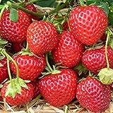 Grüner Garten Shop Erdbeere Sorte Mieze Schindler, Erdbeerpflanze mit Waldbeerenaroma späte Sorte, 10 er Tray