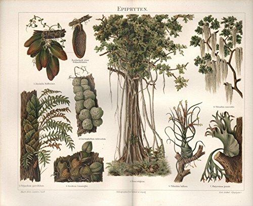 Aufsitzgewächse, Epiphyten - Antiquarische Lithografie (Sammlerstück) von 1894