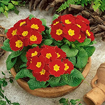 Primel, 4 Pflanzen in verschiedenen Farben blühend von Amazon.de Pflanzenservice - Du und dein Garten