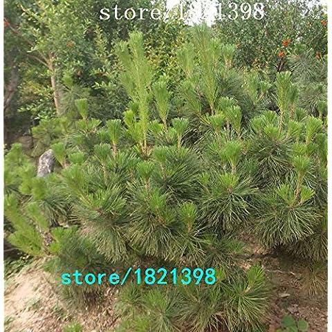 Nuevas semillas de árboles de pino Negro cinco hojas 100 semillas, semillas japoneses bonsai 4 temporada verde loro verde