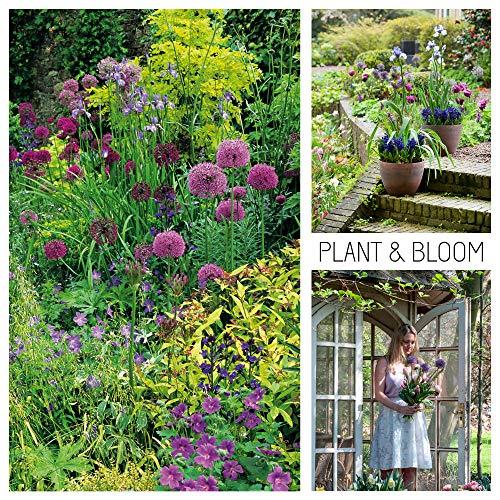 Plant & Bloom Allium Blumenzwiebeln aus Holland, 45 Zwiebeln - Gartenhaus Allium-Taschen - Einfach zu züchten - Blüht zum Frühling - Rosa und Lila Blüten - Hochwertige holländische Qualität