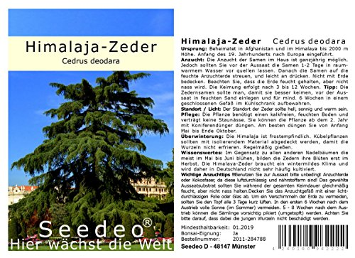 Seedeo® Himalaya Zeder (Cedrus deodara) 40 Samen