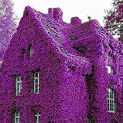 Coorun 100pcs Kletterpflanzen Samen Winterhart Kletterpflanzen für Wände, Zäune, Fasaden,Rosenbögen und Pergolen