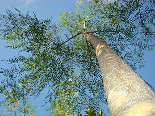 Asklepios-seeds 100 Samen Moringa droughardii, Mehlsackbaum, drouhardii, Madagaskar-Flaschenbaum