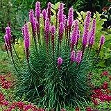Lot de 3 Bulbes Liatris spicata Vivace Plume du Kensas