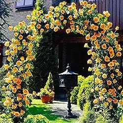 Keland Garten - Kletterrosen Samen winterhart mehrjährig 100pcs Rambler-Rose Rank- und Kletterpflanzen für Wände, Zäune, Fasaden,Rosenbögen und Pergolen (gelb)
