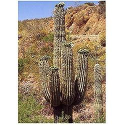 Semillas Cactus Gigante Mejicano – Carnegia gigantea