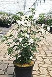 Hibiskus weiße Blüten Garteneibisch Jeanne d'Arc Hibiscus Jeanne d'Arc Containerware 40-60 cm hoch,