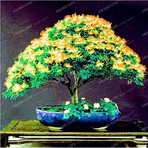 Graines vivaces Albizia fleur (Albizia julibrissin) Fleur Bonsai Arbre Graines Arbre d'ornement Maison, Jardin 20pcs / Sac 1