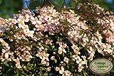 Clematis montana Rubens ~Gipfelstürmer in zarten Tönen