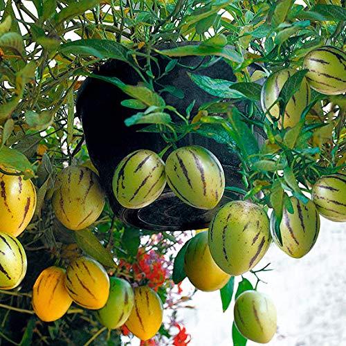 Qulista Samenhaus - 100pcs Selten Bio Melonenbirne 'Sugar Gold®' Samen Exotisches Obst Saatgut reichtragend