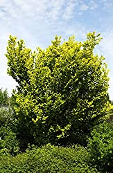 Ulme Goldulme Wredei Ulmus carpinifolia Wredei Containerware 60-100 cm