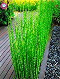 Las semillas del paquete: 40pcs / bolsa de Bonsai Boo bus heterocycla Seedss Phyllo maceta Seedss Inicio Decoración del jardín Seedsing Por Farmerly
