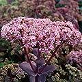 lichtnelke - Pracht-Fetthenne (Sedum telephium) Matrona von Lichtnelke Pflanzenversand auf Du und dein Garten