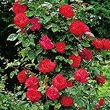 Kletterrose Santana - Kletter-Rose winterhart & duftend - Pflanze für