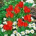 Tulpe Praestans Zwanenburg von Gärtner Pötschke - Du und dein Garten