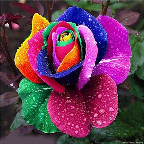 Auntwhale Graine de Rose Colorée 500 Gélules