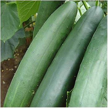Veredelungsset *Cucurbita ficifolia* 2714 für Gurken und Melonen Kiepenkerl