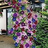 TOPmountain Clematis Blumensamen 100 Stück Kletterpflanzen Samen Schöne gemischte Farbe Gartenzubehör Einfach zu wachsen
