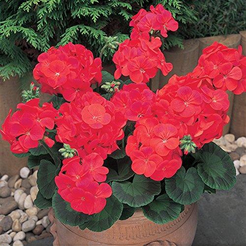 6-patio-plug-plants-geranium-new-century-red