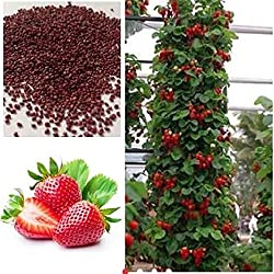 Attractive Climbing Strawberry Tree-Plant Seeds- sold by vasuworld