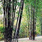 ESHOO 100Stücke Garten Schwarz Bambus Samen Hof Phyllostachys Nigra Pflanzen