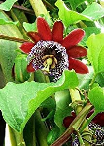 TROPICA - granadilla gigante / granadilla regale (Passiflora quadrangularis) - 12 semi