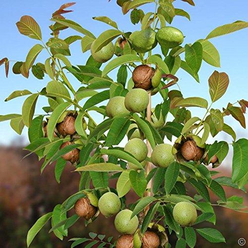baum-setzling-walnuss-3-5-jahre-ca-80-120cm-baumschule-pflanzbaume-glasgarten-naturnah-aus-den-franz