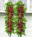 BALDUR-Garten Säulen-Kirschen 'Sylvia® & Helena®', 2 Pflanzen Säulenobst, Kirschbaum von Baldur-Garten auf Du und dein Garten