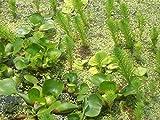 PLAT FIRM Germinazione dei Semi: 6, Helens, pappagalli Piuma, Stagno pianta, Giardino Acqua, BIOFILTRO, 100% Grown Biologico