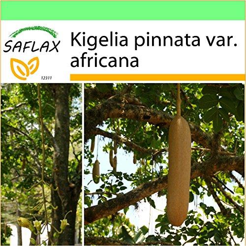 SAFLAX - Jardin dans la boîte - Arbre à saucisses - 10 graines - Kigelia pinnata var. africana