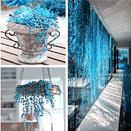blue-pearl-chlorophytum-graines-plante-en-pot-succulent-graines-anti-rayonnement-particules-100-pcs-