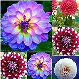 Keland Garten - 20 Stück Pompondahlie variabilis Blumensamen Bio-Saatgut, geeignet für Hintergrundpflanze, Steingärten, Balkon, Terrasse, in Kübeln oder Schalen