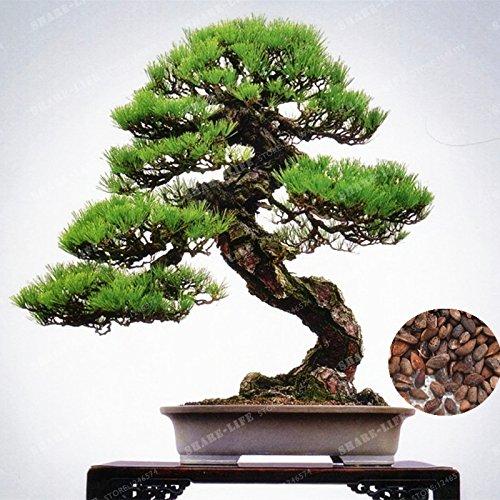 50 PC Japanese Black Pine Tree Samen Bonsai Pinus thunbergii Samen Anlage für Balkon Frischluft-Landschaft Outdoor Garten (Japanese Tree Bonsai Pine Black)