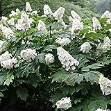 "Hydrangea quercifolia ""Snow Queen"" (Ortensia) [Vaso Ø24cm]"