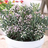Shop Meeko Andromeda polifolia Blu - 1 arbusto