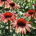 Sonnenhut, Echinacea purpurea 'Sundown ®' von VDG-Stauden auf Du und dein Garten