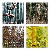 Bambus Mix - extremst frosthart (-19C° bis -25C°) - 4 Arten- je 50 Samen