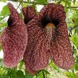 Aristolochia Gigantea Seeds