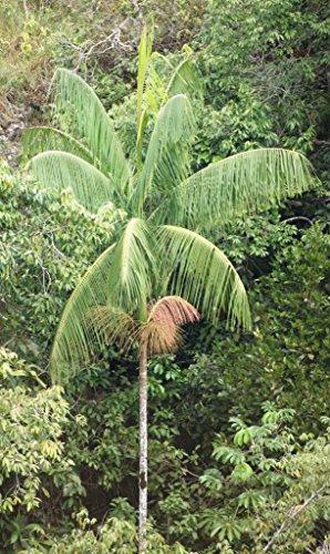 Assai Palme Euterpe edulis Pflanze 20cm Jucarapalme Kohlpalme Acai sehr selten