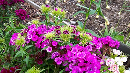 Sweet william classic must have profumata estate hardy fiore eccellente taglio fiore