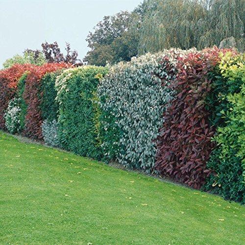 Blüten-Hecke-Sort, 5 Stück, 2tr. 40/50, bestehend aus: Weigelia Bristol Ruby®,  gemeiner Flieder (Syringa vulgaris), Goldglöckchen (Forsythia int. Spectabilis),  weißer Schneeball (Viburnum opulus Roseum), Tamariske