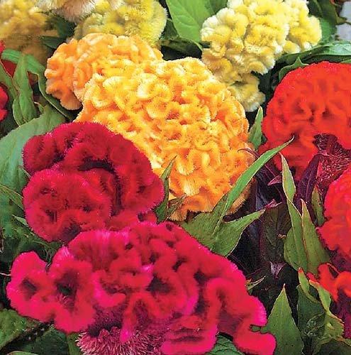 Hahnenkamm Mix - Celosia cristata - 50 Samen