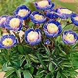 Teaio Pfingstrosen Samen 5 Stücke Blumensamen Mehrjährige Samen Blumen Blumensamen Winterhart Blumensamen für Garten, Balkon und Zimmer