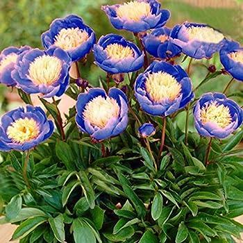 100 Samen Akelei Blau blüten Früh-//Blumen Mehrjährig